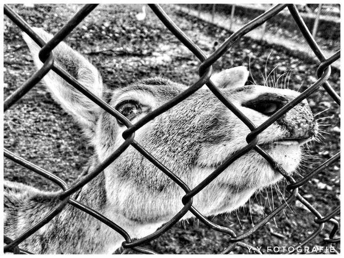 Animals Behind The Fence... Zoo Animals  Photography EyeEmNewHere Closeup Blackandwhite EyeEm Best Shots