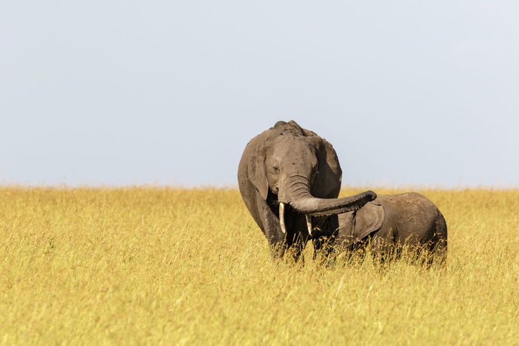 Elephant with calf in the savannah