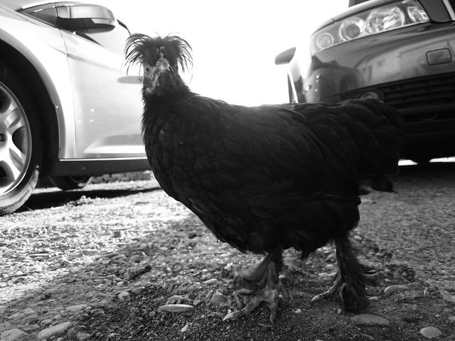 Chickeria... Animal Themes One Animal Outdoors Chicken - Bird Black And White Contrast Cool Redundancy