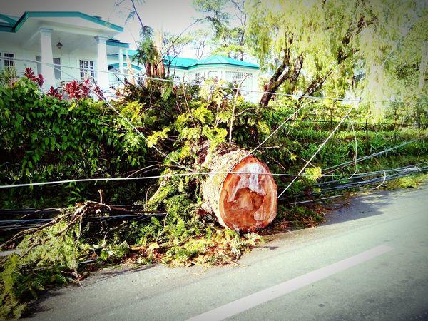 TyphoonPH Typhoon aftermath... Fallen Tree Huge Tree
