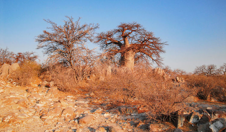 Baobab Tree in the savannah of Etosha National Park Baobab African Baobab Tree Adansonia Africa Country Rock Rock Desert Etosha National Park Mountains Safari Sahara Namibia South Africa Etosha Pan Salt Basin Okaukuejo Waterholes Savannah Semi-desert Hilly Red-brown Earth Galton Gate Dolomite