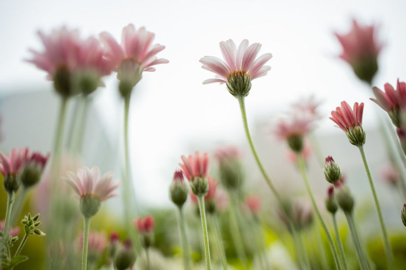 Flowers Flower Flowering Plant Plant Fragility Beauty In Nature Vulnerability  Freshness Growth Close-up Selective Focus No People Flower Head Petal Nature Inflorescence Plant Stem Focus On Foreground Day Field Green Color Outdoors Pale Pale Pink Low Angle View Lowangle EosR Canoneosr