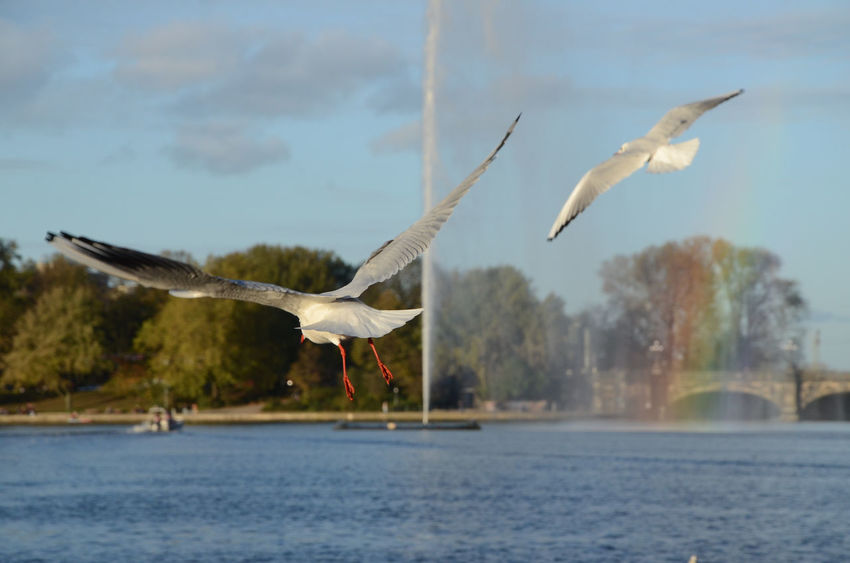 Alster Animal Themes Animal Wildlife Animals In The Wild Beauty In Nature Bird Day Flying Focus On Foreground Lake Mid-air Motion Nature No People Outdoors Rainbow Seagull Sky Spread Wings Water Water Jet Waterfront