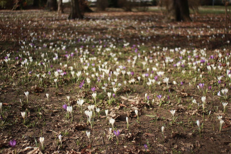 A Field Of Crocuses Purple And White Crosuses Purple And White Flower A Lot Of Flowers Purple And White Flowers Selective Focus Spring Flowers Springtime Blossoms