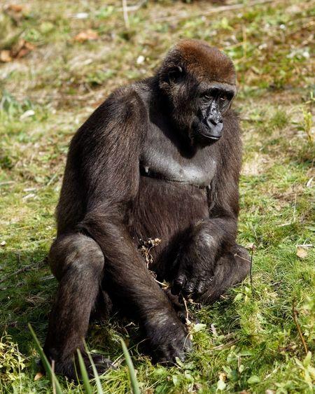 Monday Blues Gorilla Primate Animal Wildlife Mammal Animals In The Wild Ape One Animal Gorilla