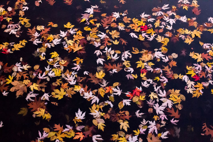 High Angle View Of Fallen Dry Maple Leaves On Pond
