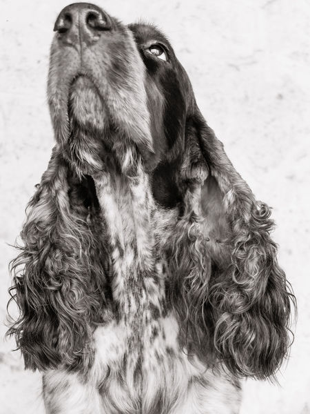 Alertness Animal Head  Animal Themes Black And White Cocker Spaniel  Curiosity Dog Dog Snout Domestic Animals Front View Mammal One Animal Pets Portrait Sitting Snout