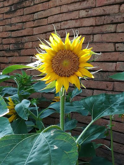 Green Brown Wall Brown Brick Wall Close-up Light And Shadow Blackgroud Relax Tree Landscape Yellow Flower Yellow Sunflower