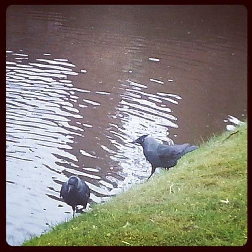 Dohlen in Papenburg