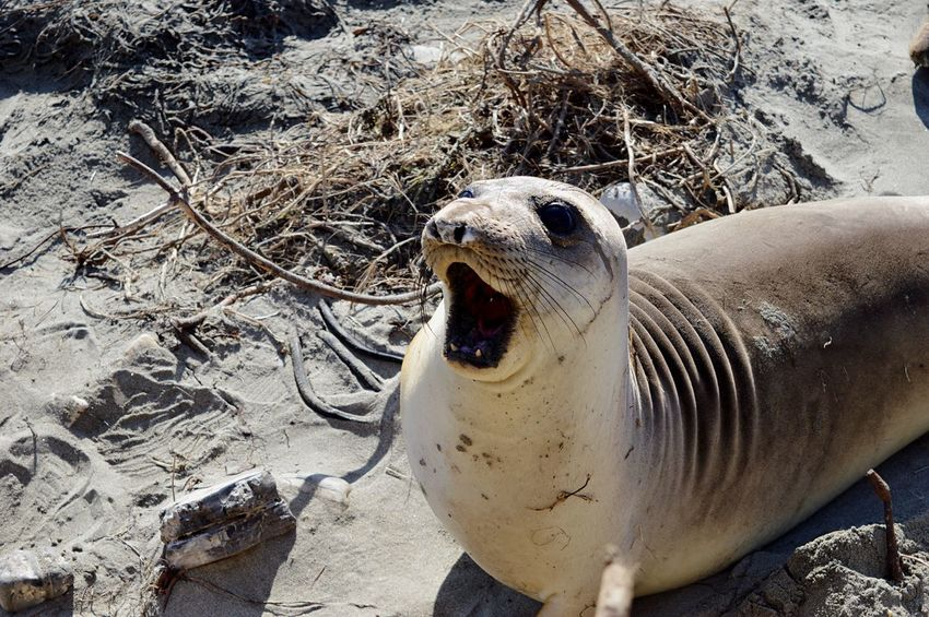 Elephant Seals Young Seal Smiling Wildlife Photography Wildlife Ocean Pacific