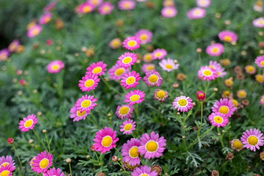 Flowering Plant Flower Freshness Plant Beauty In Nature Fragility Vulnerability  Growth Flower Head Close-up No People Petal Inflorescence Nature Day Pink Color Outdoors Land Flowerbed Field Springtime Pollen Gardening