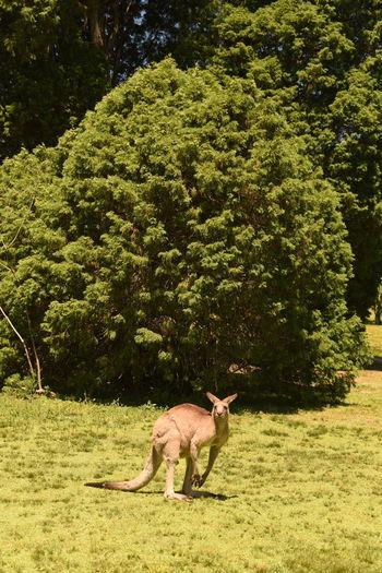 Mammal Nature Australia Cangoroo Australien Känguru