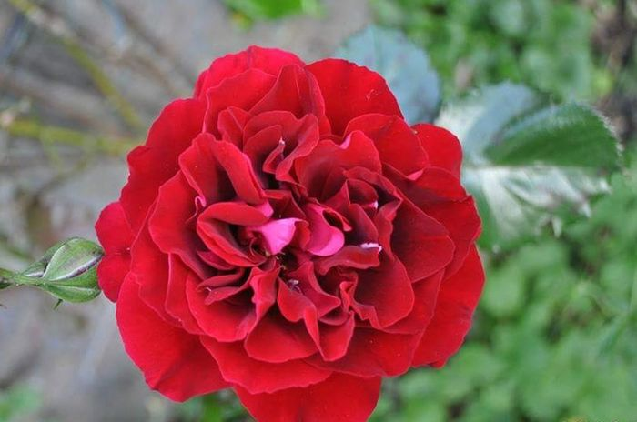 Red Rose - Flower Close-up Flower Head Petal Flower Redrose  Details Textures And Shapes Detailphotography Plants 🌱 EyeEm Best Shots EyeEm Nature Lover The Week On EyeEm EyeEm Selects Eyemgallery RosePorn )( Love ♥
