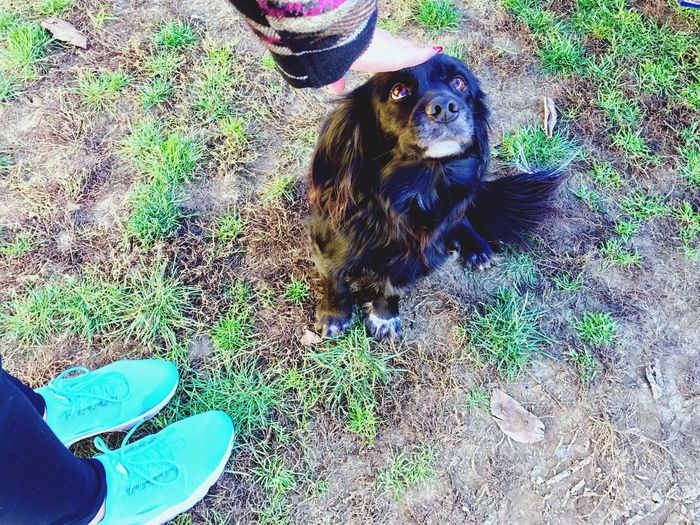 Animal Themes Pets Domestic Animals Dog Grass Mammal One Animal Field High Angle View Outdoors Day Nature No People Dachshund Cavalier King Charles Spaniel