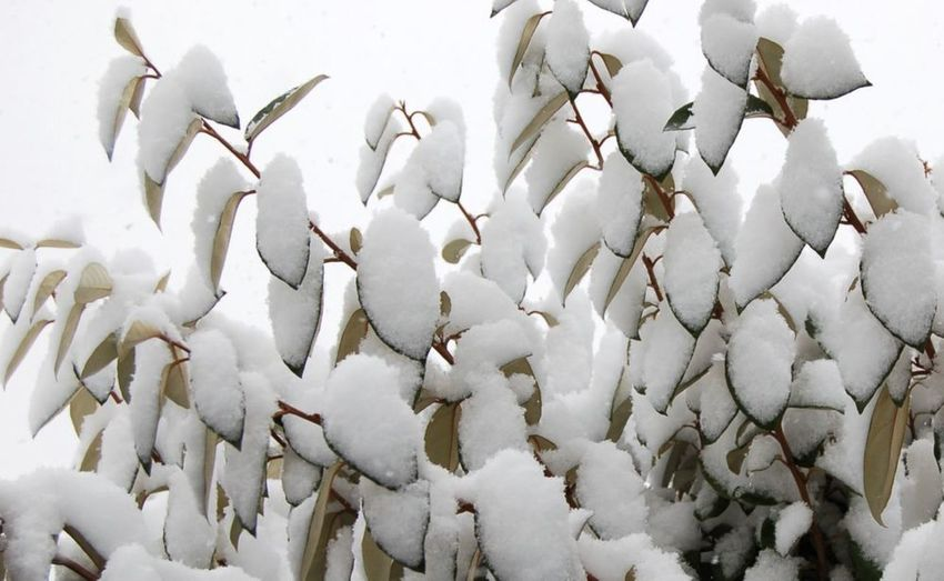 Leaves of Snow Leaves🌿 Leaves Tree Trees Weather Cold Weather Shades Of Winter Nature No People Winter Outdoors Day Close-up White Color White Background Freshness