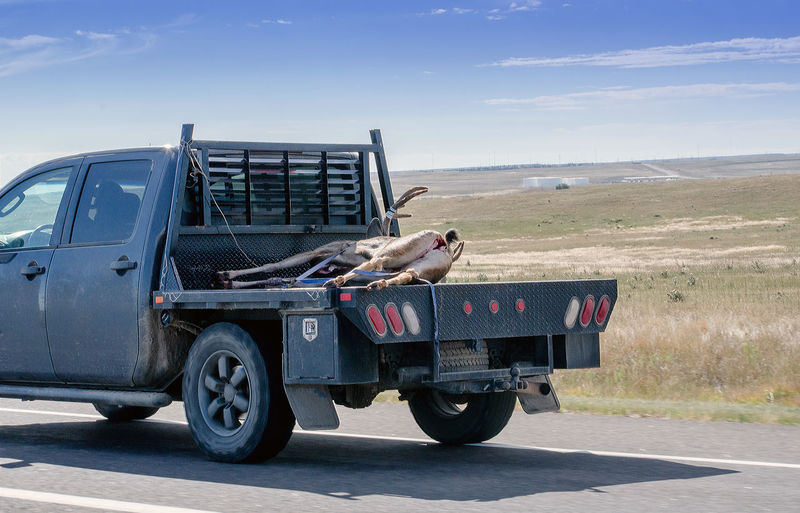 a wyoming USA hunter transports a recently killed buck home in the back of his truck Deer Road Transportation Trophy USA Wyoming America Animal Buck Day Food Huinter Kill Meat No People Outdoors Sky Sport Truck