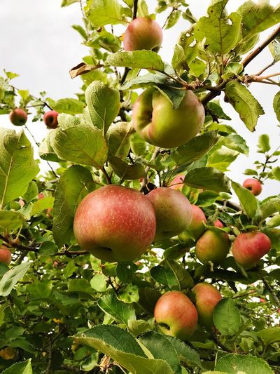 Fruit Healthy Eating Food And Drink Food Plant Growth Tree Freshness Wellbeing Apple - Fruit Nature Fruit Tree No People Apple Tree Day Close-up