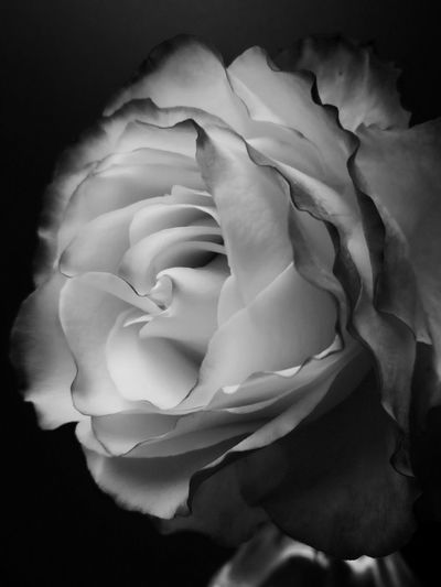 Black and white rose Black And White Black And White Rose Rose🌹 Roses🌹 Profile View Side View Tequila Sunrise Flower Head Black Background Flower Textured  Rose - Flower Petal Abstract Close-up