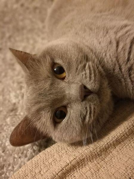 One Animal Pets Cats 🐱 Domestic Cat British Shorthair Feline Helia Professional Cat Cute Cats Perfect Pose