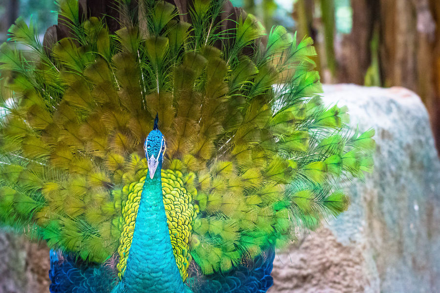 Animal Themes Animal Wildlife Animals In The Wild Beauty In Nature Bird Close-up Day Feather  Focus On Foreground Gold And Blue Macaw Looking At Camera Macaw Multi Colored Nature No People One Animal Outdoors Parrot Peacock Portrait