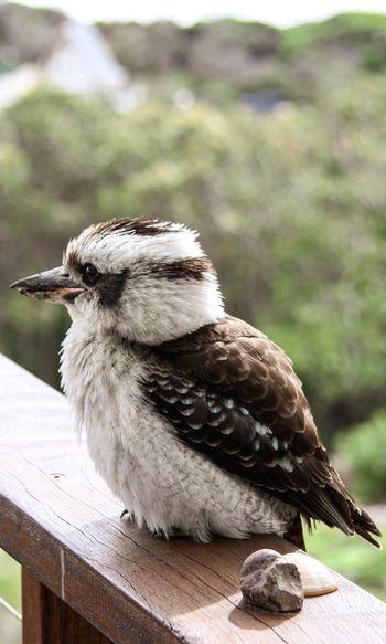 Australian kookaburra sitting on balcony ledge, and pebbles