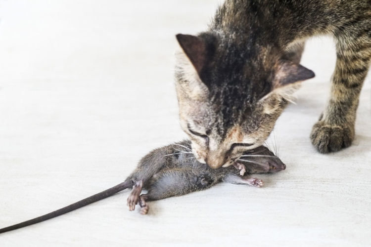 Closeup of cat caught a mice Cat Catch Caught Close-up Day Dead Feline Kitten Life And Death Lying Down Mice Natural Light No People Pest Rat Rodent