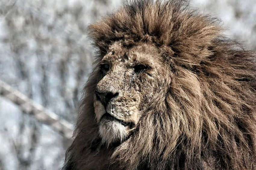 A true warrior One Animal Animal Wildlife Close-up No People Nature Outdoors Day Lion Lionshead Lions Mane Scars Face Big Cat Beast