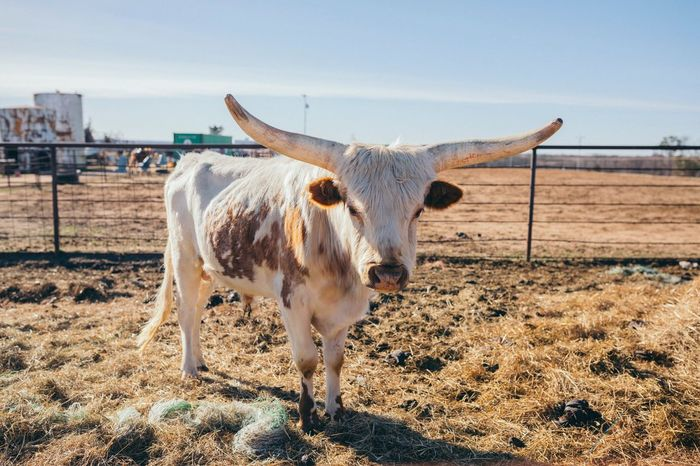 Livestock Animal Themes Domestic Animals Mammal Field Cattle One Animal Cow Standing Sky No People Day Outdoors Nature EyeEmNewHere The Great Outdoors - 2017 EyeEm Awards