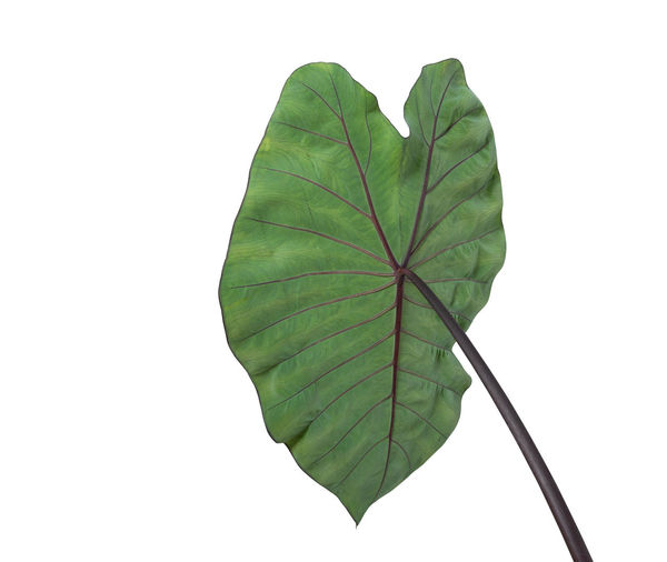 Leaf Plant Part Studio Shot White Background Green Color Close-up Nature Copy Space No People Plant Cut Out Beauty In Nature Leaf Vein Indoors  Freshness Plant Stem Growth Fragility Botany Leaves Flower