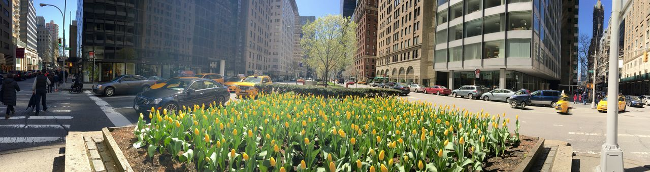 Yellow tulips on Fifth Avenue in New York City. Architecture Building Building Exterior Built Structure Car City City Life City Street Day Fifth Avenue NYC Flowers Incidental People Land Vehicle Large Group Of People Men Mode Of Transport Person Road Street Sunlight Transportation Yellow Tulips