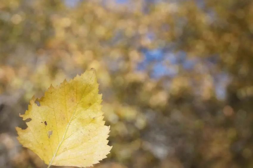 China xinjiang Leaf Autumn Nature Change Day Outdoors Focus On Foreground