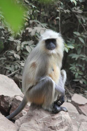 Bored langur Animal Animals In The Wild India Langur Mammal Monkey Nature No People One Animal Rajasthan Ranthambore National Park Wildlife ındia