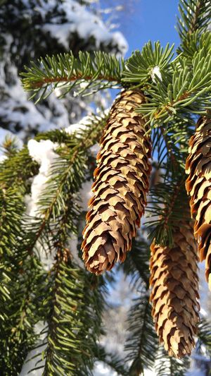 Pine Tree Tree Winter Nature Cold Temperature Snow Pine Cone Outdoors Green Color Day No People