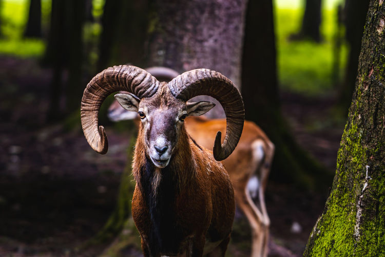 Mouflon looking at the camera Animal Animal Themes Mammal Vertebrate Animal Wildlife Tree Land Field Focus On Foreground Horned One Animal Looking At Camera Domestic Animals Portrait No People Plant Standing Nature Day Animals In The Wild Herbivorous Animal Head