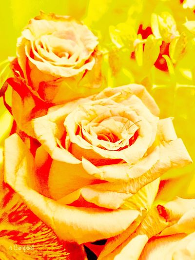 Paint The Town Yellow Flower Head Rose - Flower