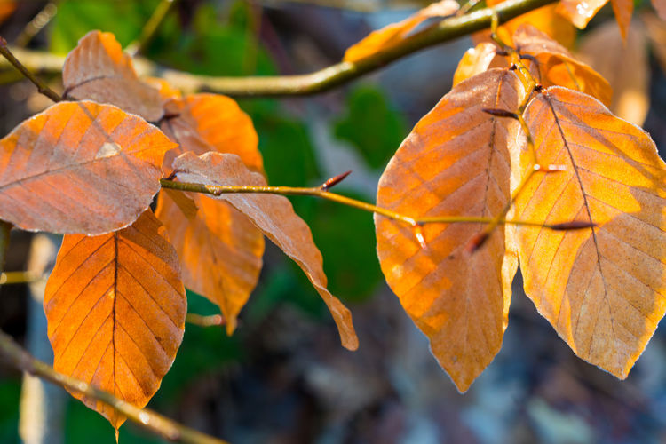 Close-up of maple leaves on plant