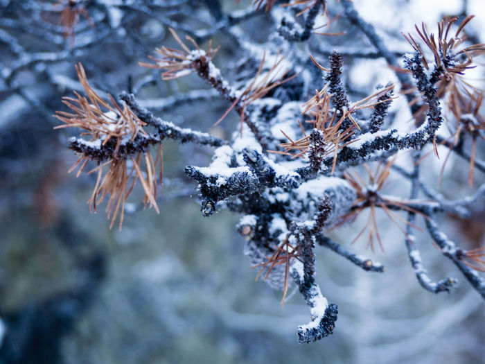 frozen twig with brown needles Beauty In Nature Branch Canada Close-up Cold Temperature Coniferous Tree Day Focus On Foreground Fragility Freshness Frost Frozen Ice Nature Needle - Plant Part No People Outdoors Snow Tranquility Tree Twig Weather Winter Yukon Territory
