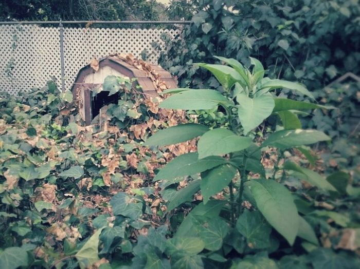 Backyard Backyard Photography Doghouse Fallen Leaves Lonely Overcast Skies Ivy Animal Themes Leaf Nature Growth Animals In The Wild Plant One Animal Outdoors No People Day Green Color Tree Close-up Iguana Chameleon