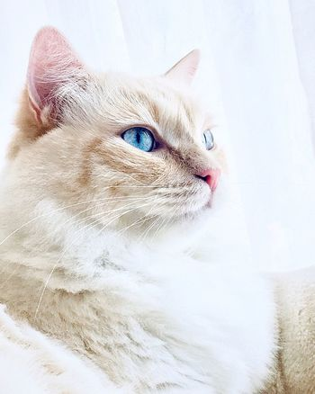 Animal Themes Ragdoll Cats Photography Cats Of EyeEm Cat Domestic Cat Feline Domestic Animals Pets One Animal Domestic Close-up Portrait No People Animal Eye Looking