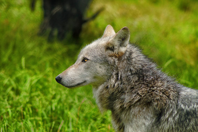 Side view of wolf on grassy field at uk wolf conservation trust