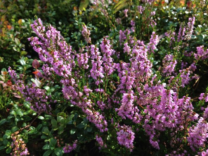 Beauty In Nature Calluna Vulgaris Close-up Day Flower Flower Head Heather Nature No People Outdoors Plant Purple
