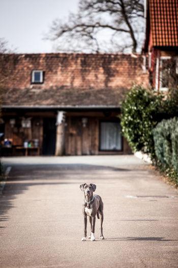 Great dane standing on walkway against house
