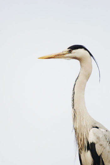 Close-up of gray heron against sky