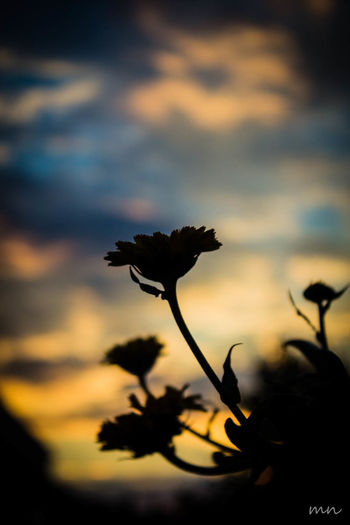 Beauty In Nature Blooming Botany Close-up Cloud Cloud - Sky Flower Flower Head Focus On Foreground Fragility Growth In Bloom Nature Orange Color Outdoors Plant Selective Focus Sky Sunset Tranquility