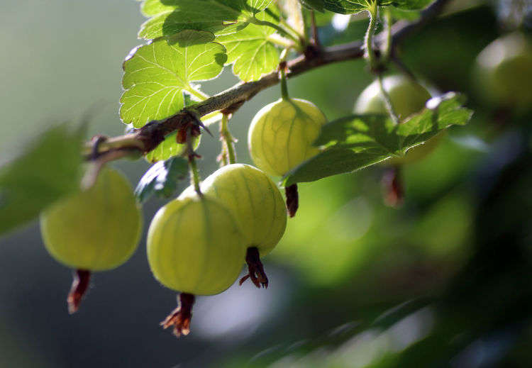 Beauty In Nature Branch Close-up Day Focus On Foreground Food Food And Drink Freshness Fruit Gooseberries Gooseberry Green Color Growth Hanging Harvest Healthy Eating Leaf Nature No People Outdoors Picking Plant Yield