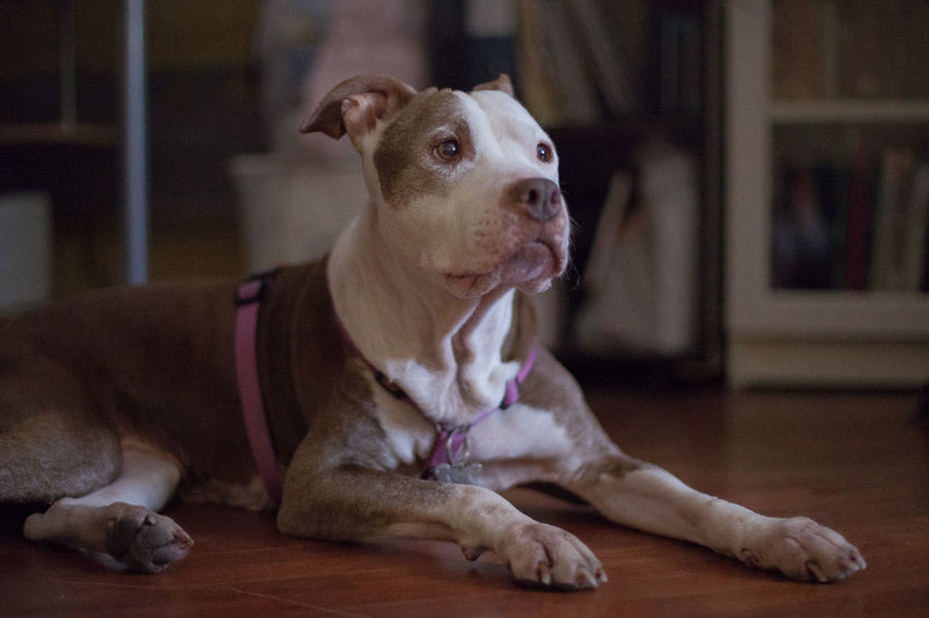 Asia Animal Themes Close-up Day Dog Domestic Animals Focus On Foreground Home Interior Indoors  Looking At Camera Mammal No People One Animal Pets Pitbull Portrait