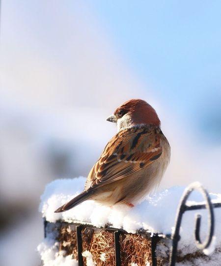厳冬を生き抜く眼差し EyeEm Best Shots Animal Wildlife Nature Close-up Outdoors No People Sky Sparrow