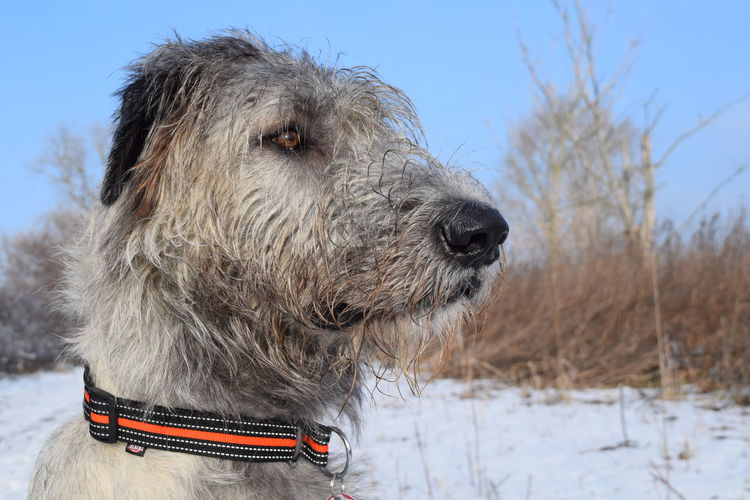 One Animal Cold Temperature Snow Animal Themes Outdoors Winter Sky Domestic Animals Bokeh Winter 2017 January 2017 Cearnaigh Portrait Irish Wolfhound Dogs Of EyeEm Dog Of The Day Dogslife Dogwalk Dogs Of Winter No People Tranquility Sunlight Weather Dog