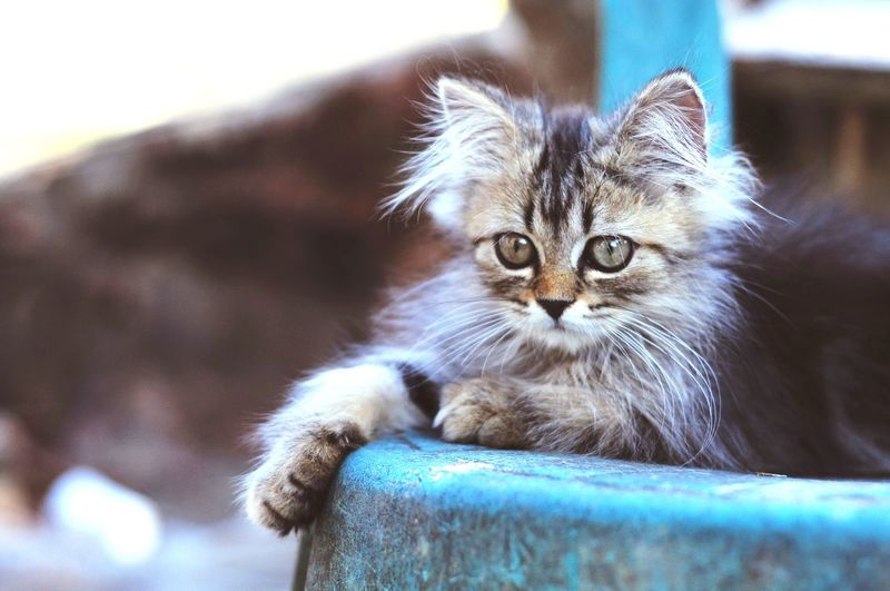 Animal Themes Cat Lovers Cats Of EyeEm Cats 🐱 Kitten 🐱 Pets Portrait Kitten Feline Looking At Camera Domestic Cat Persian Cat  Whisker Close-up Animal Nose Animal Eye Animal Face Cat Animal Body Part At Home Tabby Cat Yellow Eyes Animal Head