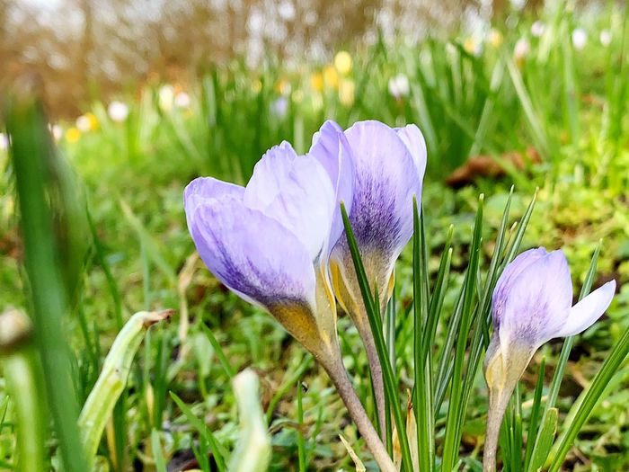 Flowering Plant Flower Plant Vulnerability  Fragility Growth Freshness Beauty In Nature Purple Petal Field Iris Land Close-up Flower Head Inflorescence Nature Grass Crocus Day No People Outdoors Springtime Iris - Plant